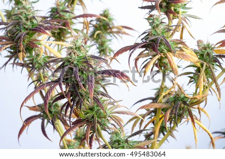 branch of cannabis plant with buds on white background