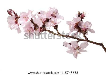 branch of cherries flowers on a white background