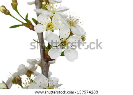branch of cherry blossoms isolated on white background