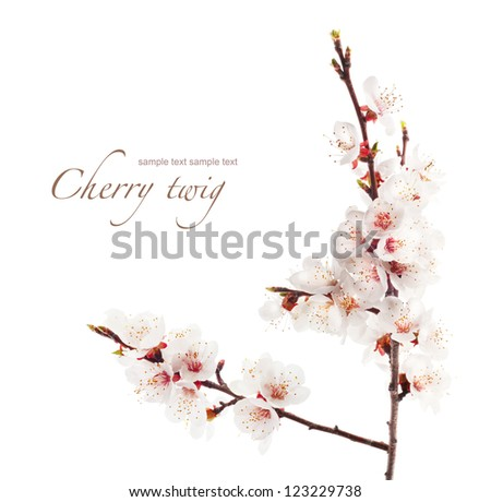 branch of cherry in bloom - stock photo