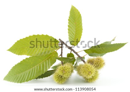 branch of chestnut with nut and green leaf - stock photo