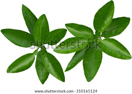 Branch of citrus leaves isolated on white background - stock photo