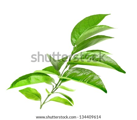 Branch of citrus tree with green leaf. Isolated on white background. Close-up. Studio photography. - stock photo