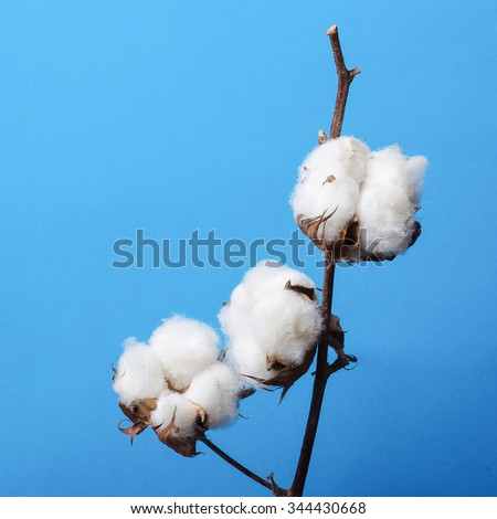 Branch of cotton plant isolated on the blue background - stock photo
