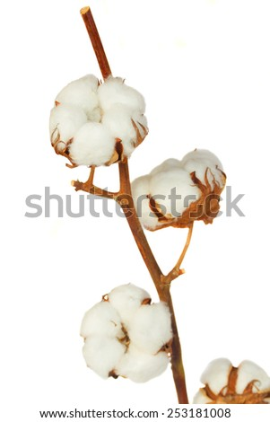 Branch of cotton plant with buds isolated over white background - stock photo