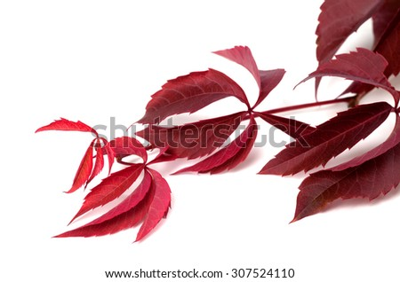 Branch of dark red autumn grapes leaves (Parthenocissus quinquefolia foliage). Isolated on white background. Selective focus. - stock photo