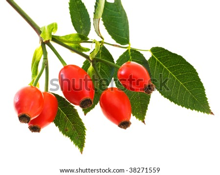 Branch of dog rose with hips, isolated on white