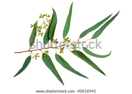 branch of eucalyptus with seeds - stock photo
