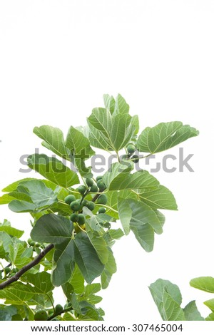 Branch of fig tree with ripe fruits, vertical frame and neutral background