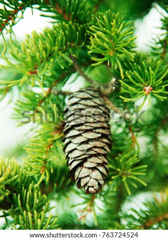 Branch of fir-tree  and  fir cone  ( spruce cone)  close - up.  Idea for Christmas decoration. Christmas  and  New Year   background template.