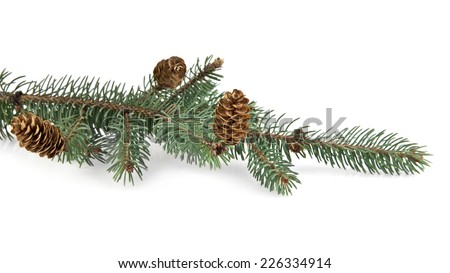 branch of fir-tree on a white background - stock photo