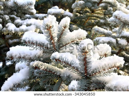 Branch of fir-tree (Picea pungens) covered in snow - stock photo
