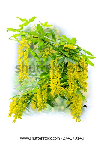 Branch of flowering yellow acacia isolated on white background - stock photo