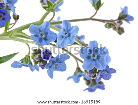 Branch of forget me not flowers isolated on white - stock photo