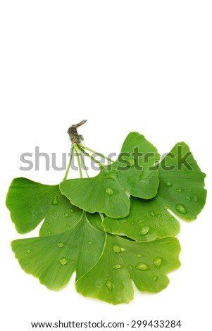 Branch of fresh ginkgo leaves isolated on white background - stock photo