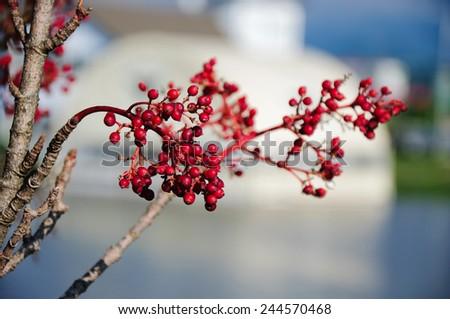 Branch of fruiting shrub on bokeh background - stock photo