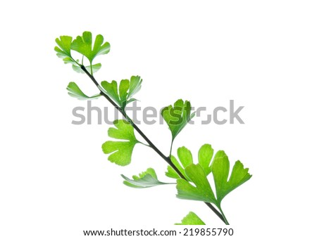 Branch of ginkgo biloba  tree with green leaves isolated on white  - stock photo