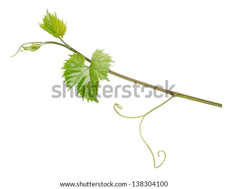 Branch of grape vine isolated on white background - stock photo