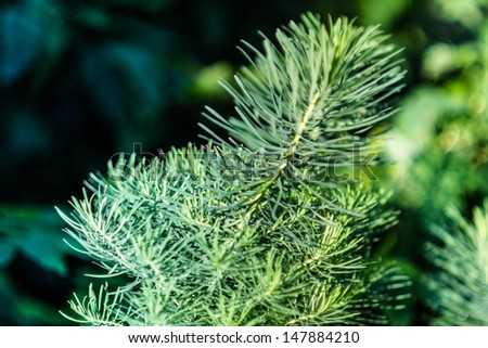 Branch of green and blue fir, outdoor, may use as background - stock photo