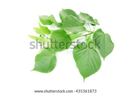 Branch of green leaves, isolated on white