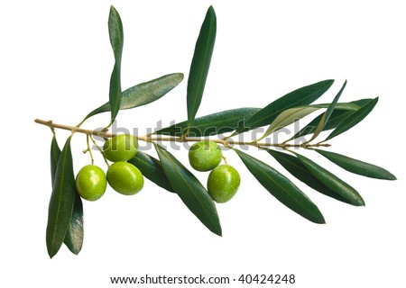 branch of green olives - stock photo