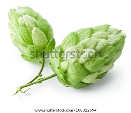 branch of hops on a white background - stock photo