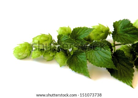 Branch of Hops with leaves and umbels - stock photo