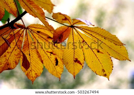 Branch of horse chestnut tree, autumn background. Shallow focus background.
