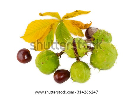 Branch of horse chestnut with leaves and ripe chestnuts inside its green husk and several peeled chestnuts on a light background. Isolation.