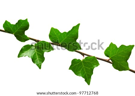 Branch of ivy isolated on white