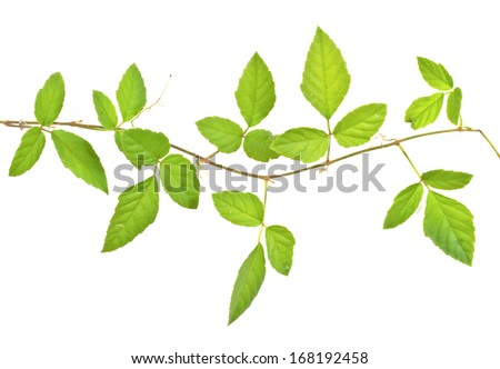 branch of ivy isolated on white background - stock photo