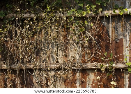branch of ivy on Old zinc fence background
