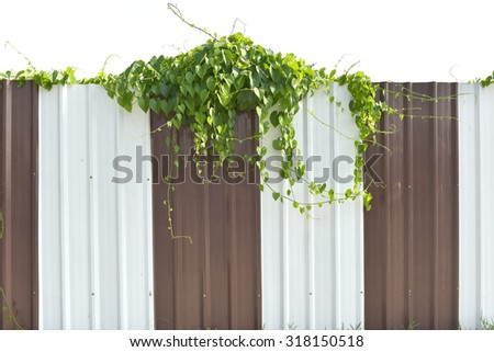branch of ivy on Old zinc fence background.  - stock photo