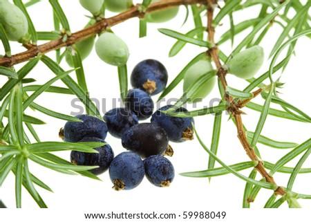 Branch of juniper juniperus with berries  ( juniperus communis) close up macro shot  isolated on white - stock photo