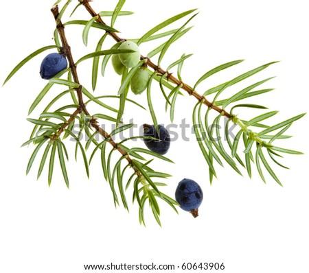 Branch of juniper juniperus with berries  ( juniperus communis) isolated on white - stock photo