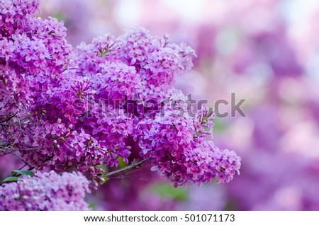 Branch of lilac flowers, floral natural macro background, soft focus