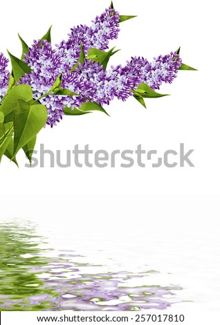 Branch of lilac flowers isolated on white background - stock photo