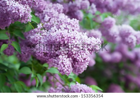Branch of lilac flowers with the leaves, floral background - stock photo