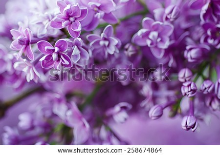 Branch of lilac flowers with the leaves, floral easter natural background - stock photo