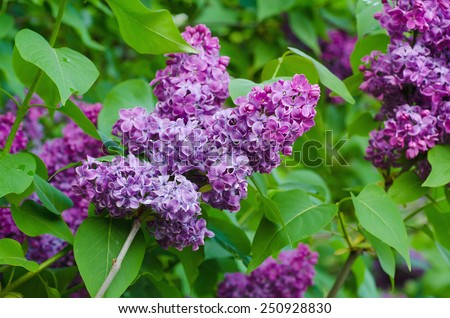 Branch of lilac flowers with the leaves, floral natural background - stock photo