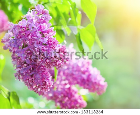 Branch of lilac flowers with the leaves over beautiful bokeh - stock photo