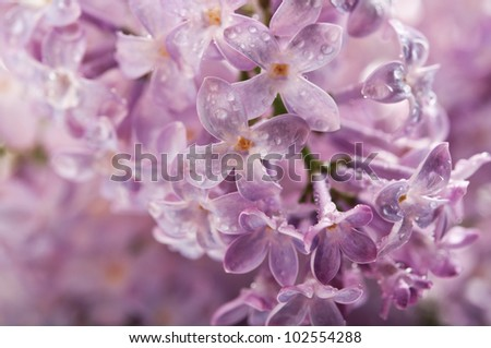 branch of lilac on background - stock photo