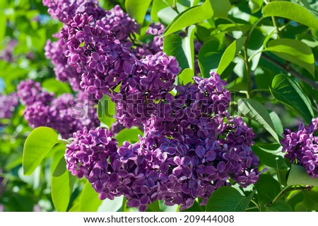 Branch of lilac photo