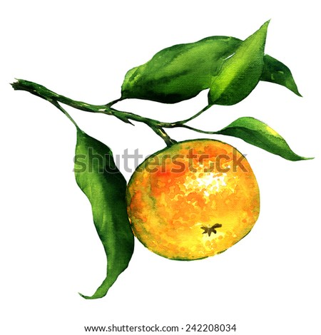 branch of mandarin isolated, watercolor painting on white background - stock photo