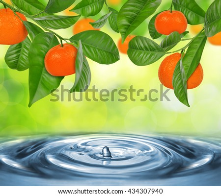 Branch of mandarine tree above the water level.  - stock photo
