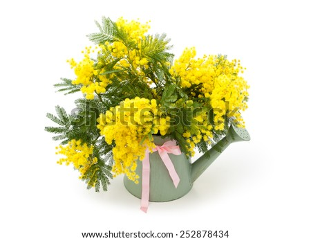 Branch of mimosa in water can. Isolated on white background. - stock photo