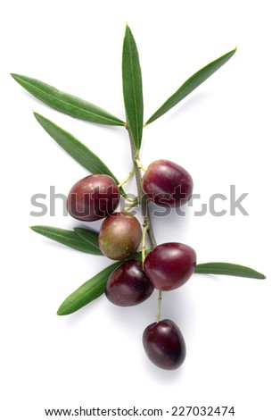 branch of olive tree with matured olives