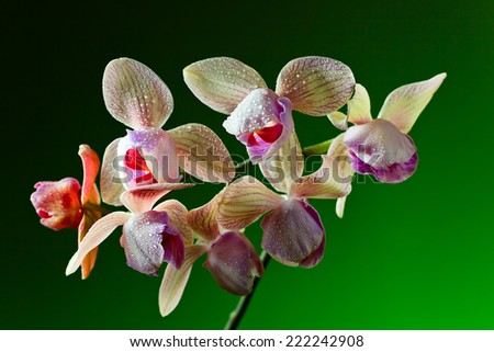 branch of orchid on  green background , (phalaenopsis) - stock photo