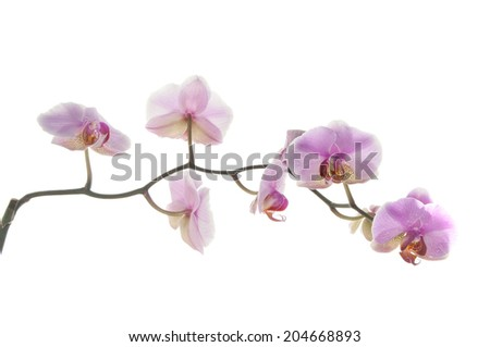 branch of orchid on white background