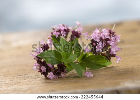 branch of oregano for food preparation - stock photo